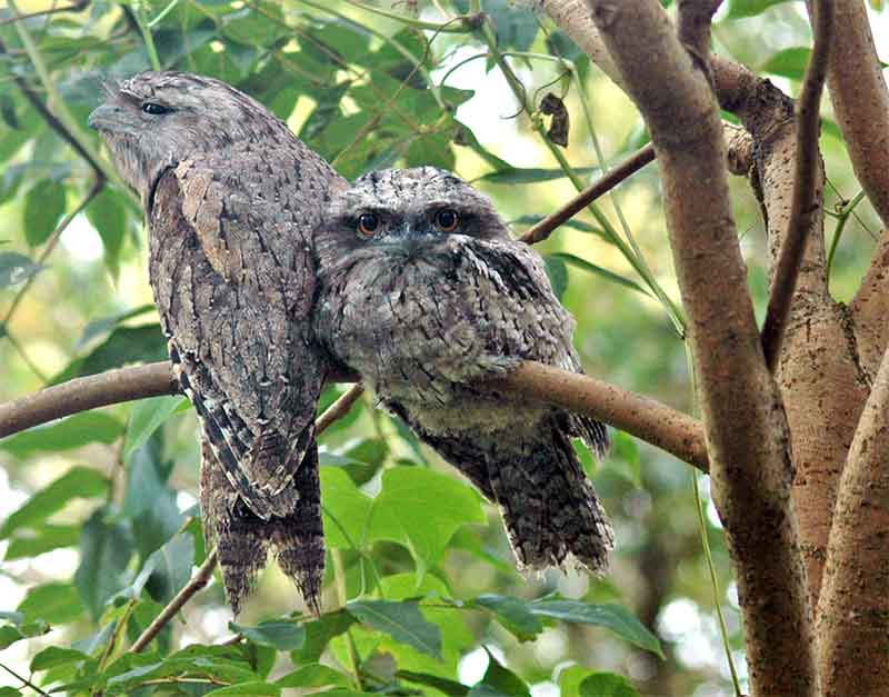 tawny frogmouth photo reference