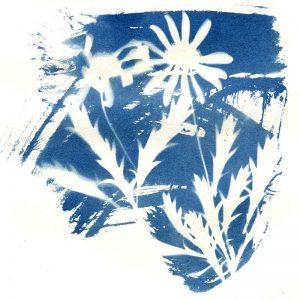 Cyanotpe 'Dancing Daisies' by Kim Herringe