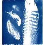 Feathers cyanotype by Kim Herringe