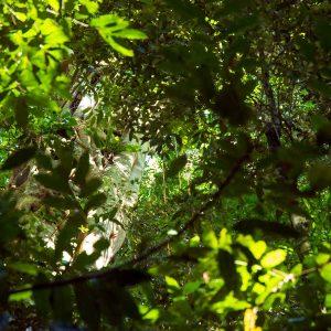 Mary Cairncross BioBlitz tree - Gureya (Jinibara word meaning Fig)