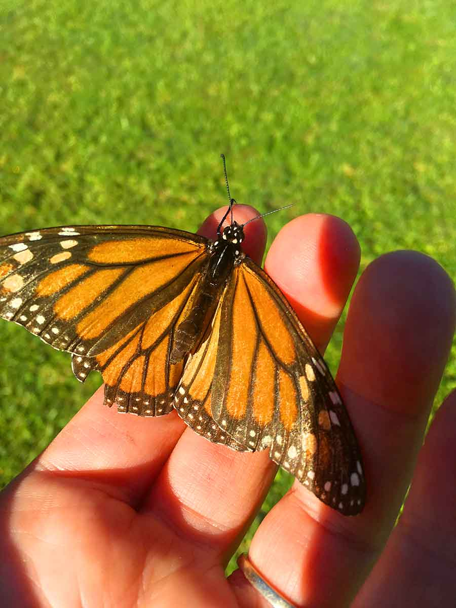 A monarch butterfly stop to say hello